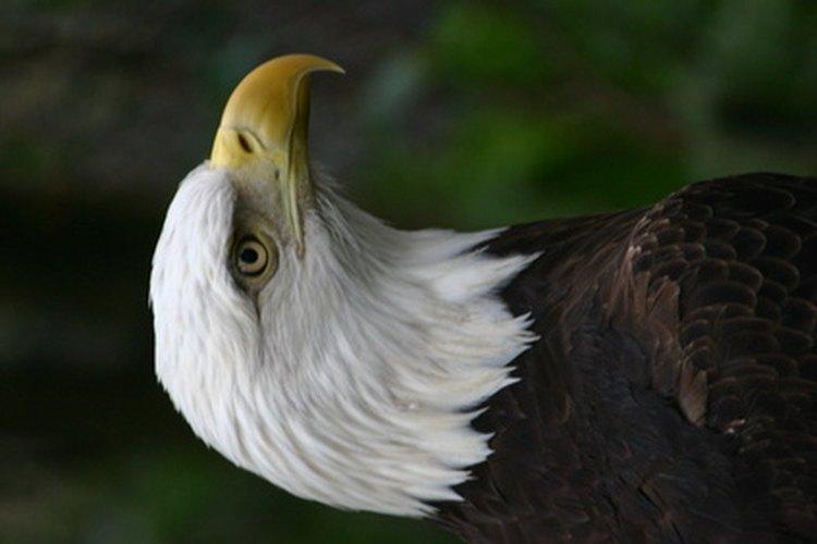 El águila calva.