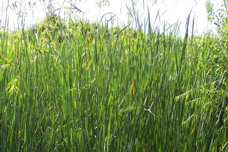 El pasto produce oxígeno a través de la fotosíntesis.