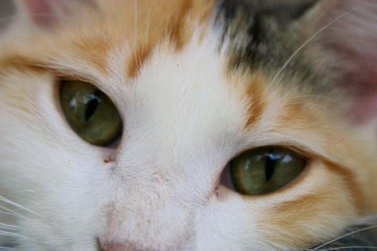 Conocer la personalidad de tu gato calicó es tan fácil como saber su raza.