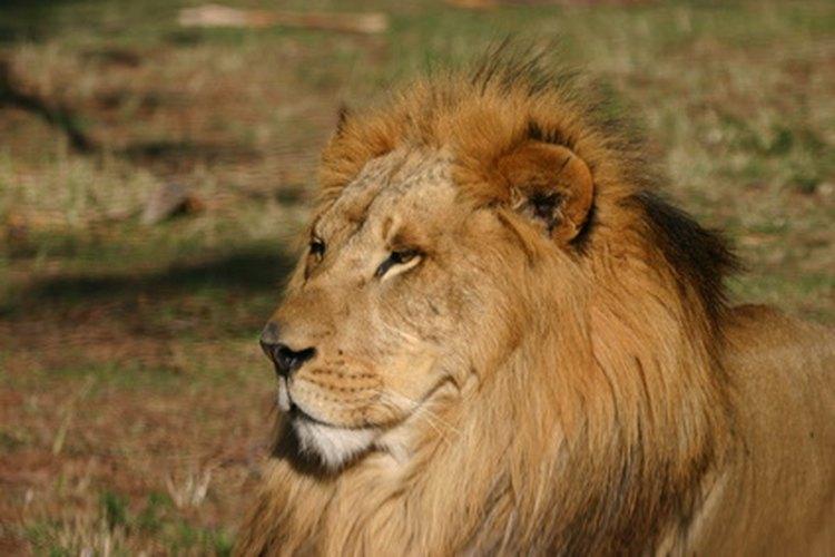 El alto valor de los trofeos de cabeza de león se ha traducido en un descenso en el número de leones africanos.