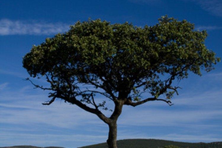 El cedro es un árbol con muchos usos.