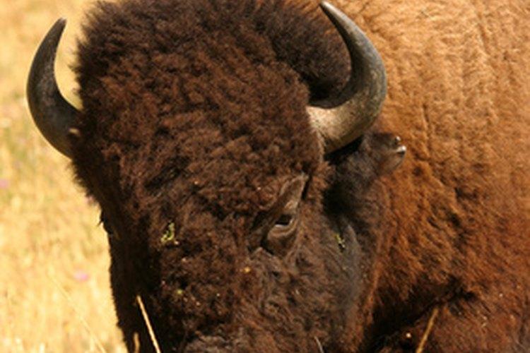 Los bisontes son probablemente los animales más conocidos de las Grandes Llanuras.
