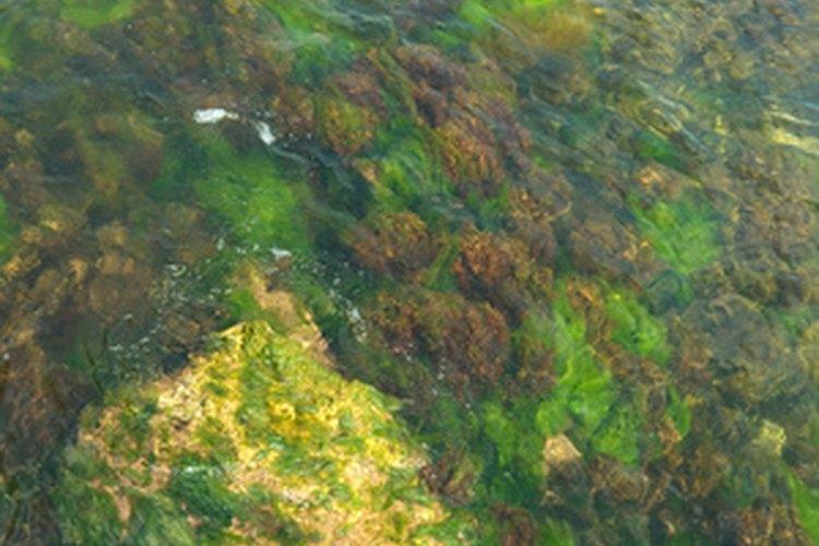 Las algas forman hojas verdes y pueden decolorar el agua.