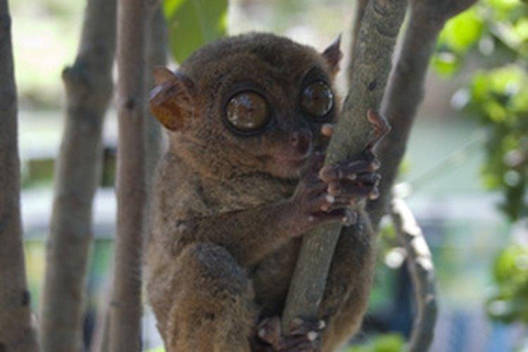 Un mono tarsier diminuto.