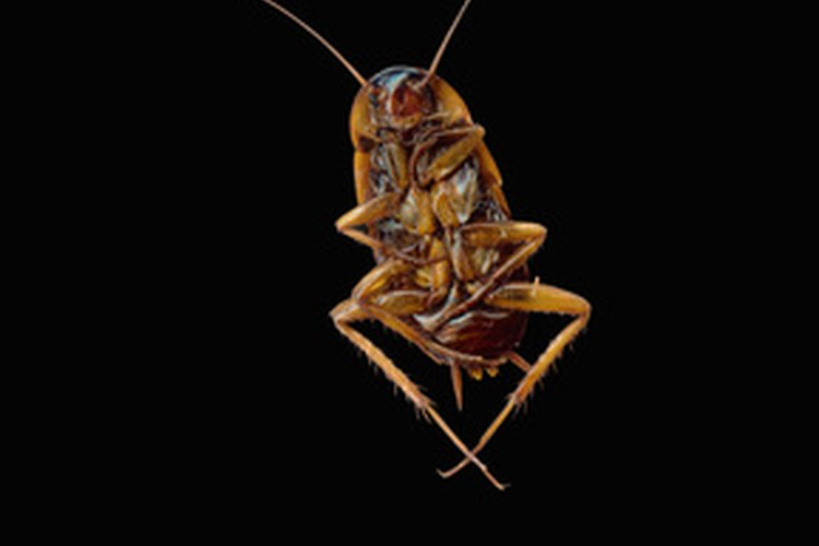 Las cucarachas están cómodas viviendo dentro y fuera de tu casa.