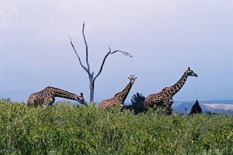 Las jirafas machos y hembras se aparean por poco tiempo y luego la hembra tiene un embarazo de 15 meses.