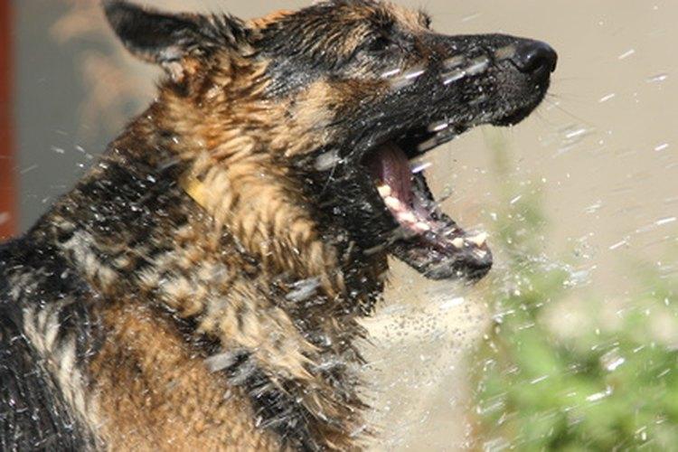 Bañar a un perro demasiado pronto después de la medicación puede lavarla.