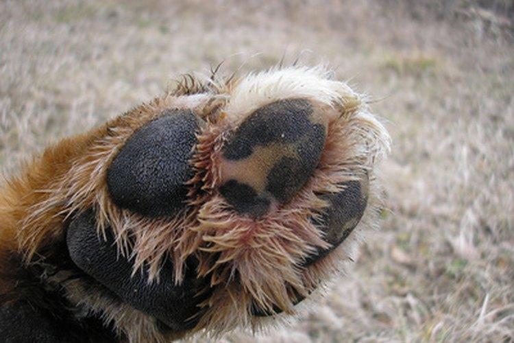 Las infecciones por hongos pueden hacer que las patas del perro se vuelvan rojas.