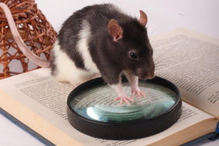 C mo construir trampas para atrapas ratas vivas en casa - Como eliminar ratas en casa ...