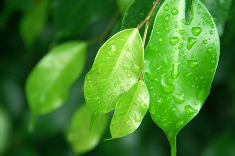 El ficus trenzado es fácil de cultivar si recibe el cuidado adecuado.