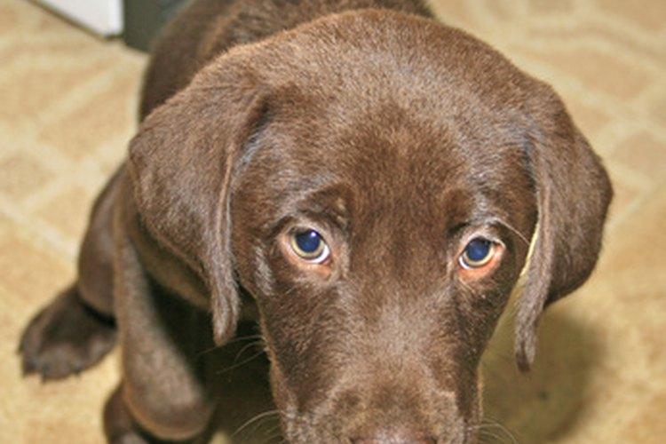 El pamoato de pirantel es usado para tratar las infecciones en perros causadas por anquilostomas y los ascárides.
