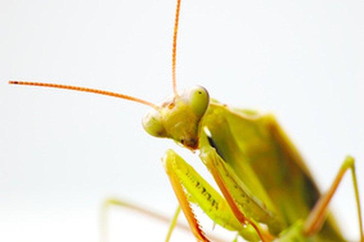 La mantis religiosa es un depredador muy eficiente y letal.