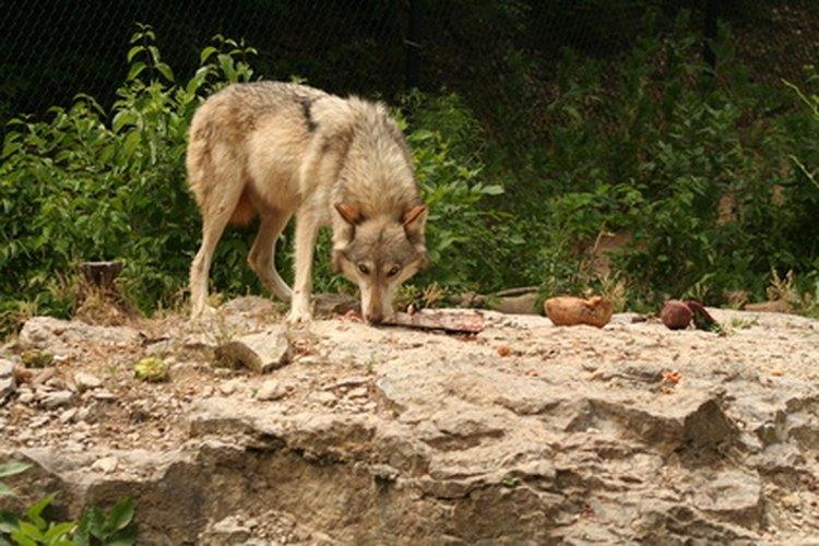 Los lobos confían en su sentido del olfato para encontrar comida o detectar fragancias enemigas.