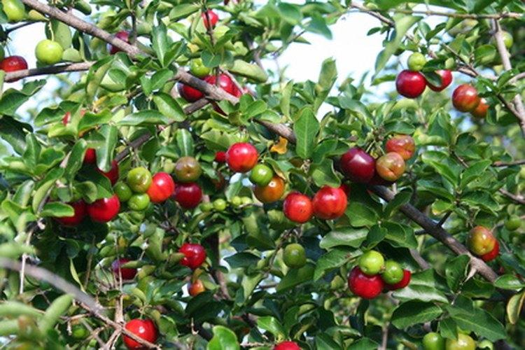 El fruto de acerola tiene un alto nivel de vitamina C.