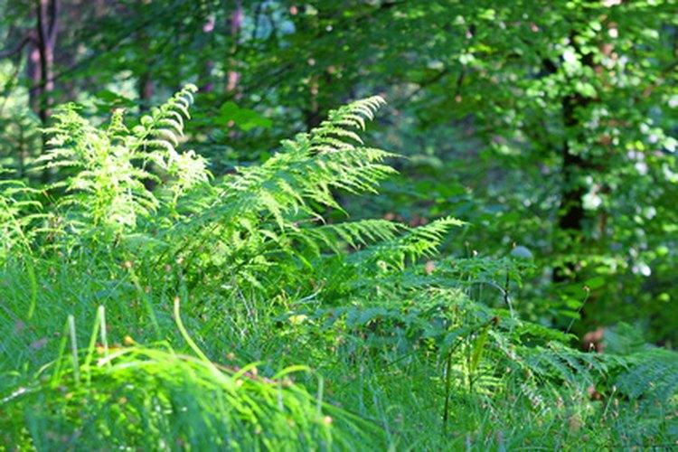 Los helechos macho prosperan en un ambiente fresco y con sombra.