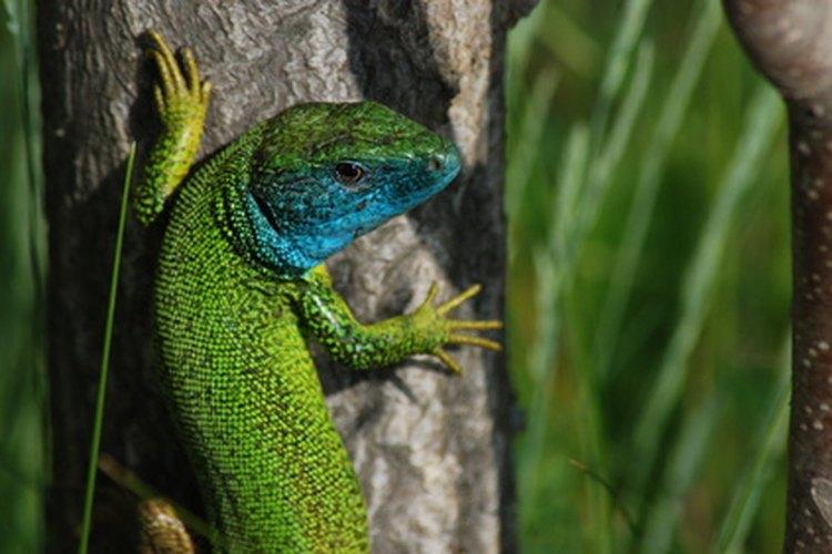 Muchos reptiles deben contener su respiración cuando están en movimiento.