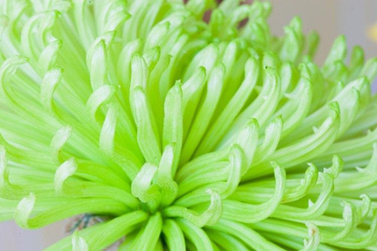 Flores que comienzan con m for Lista de arboles de hoja caduca