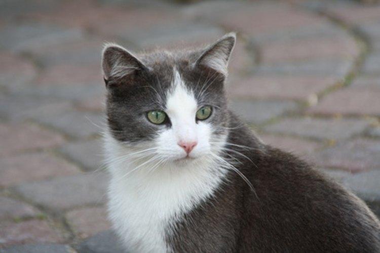 Existen métodos no quirúrgicos para el control de la natalidad en gatos.