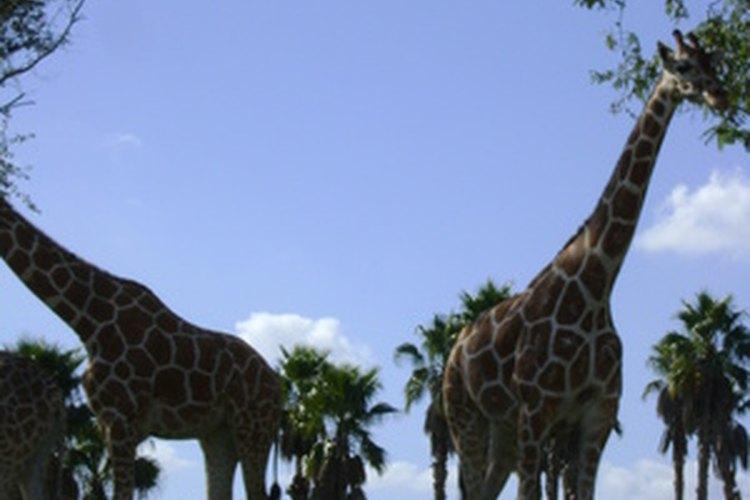 Las jirafas son vegetarianas estrictas.