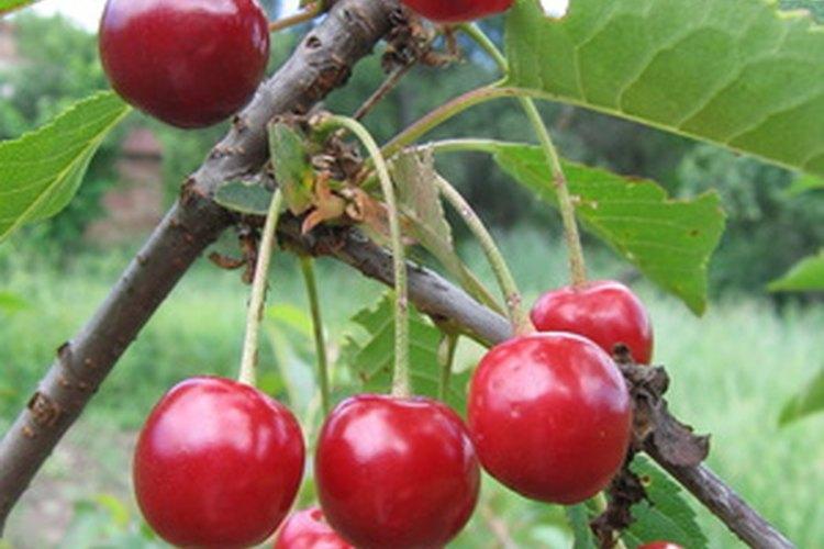 Guarda varias semillas de cereza para plantar.