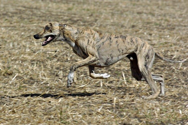 Un galgo es un animal de carreras.
