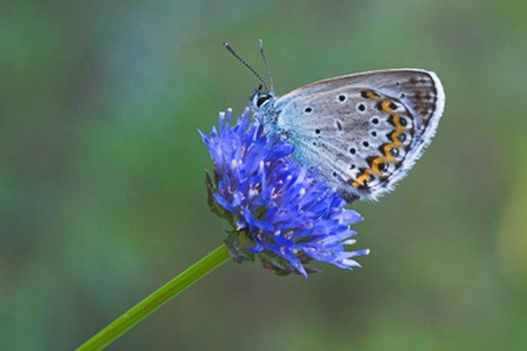 En algunas culturas se piensa que ver a una mariposa azul trae suerte y concede deseos.