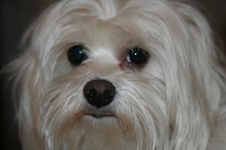 Los perros blancos requieren de un aseo especial para mantenerse blancos.