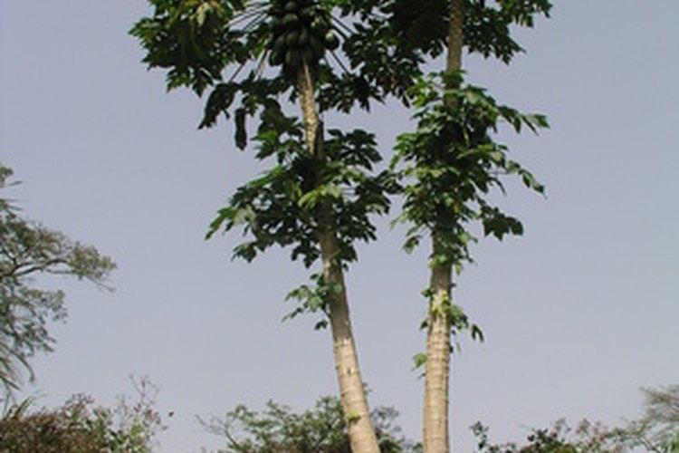 Los árboles de papaya crecen de 12 a 20 pies (3,65 a 6,09 m) de alto.
