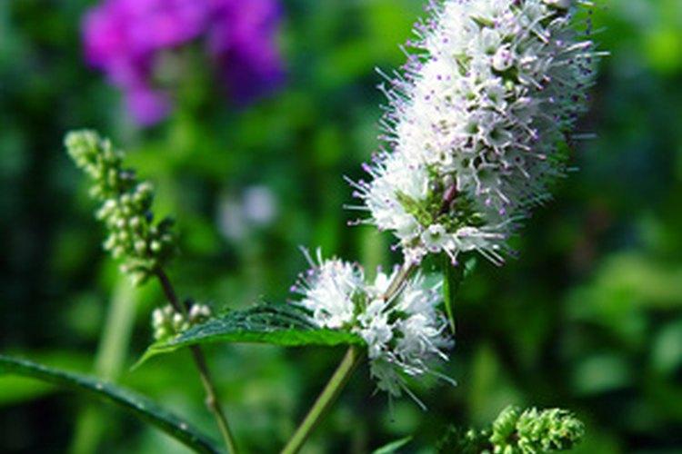 Una planta de la menta verde en floración.