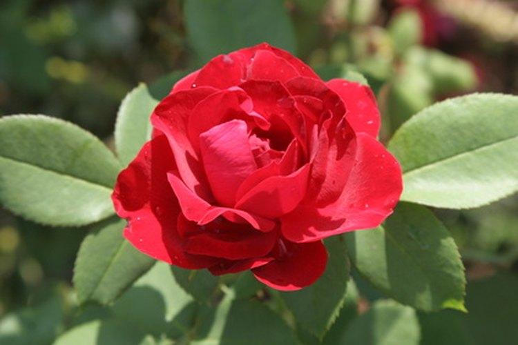 Una rosa roja en la naturaleza.