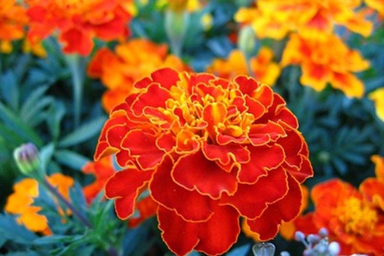 Las caléndulas viven admirablemente en cualquier jardín.