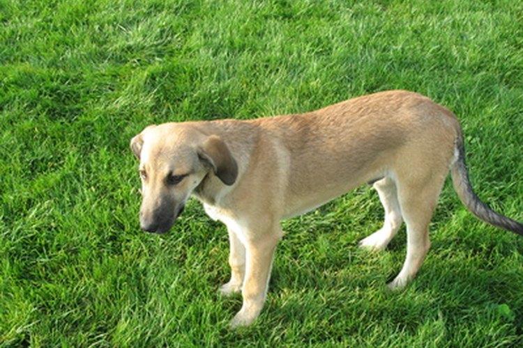 Las nauseas y vómitos son un efecto secundario común de la morfina en los perros.