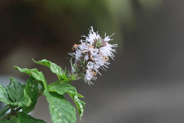 Los brotes y las hojas de las plantas puede usarse para la extracción.