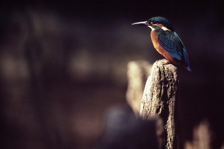 El pico del martín pescador puede fácilmente pinchar las cubiertas de los estanques.