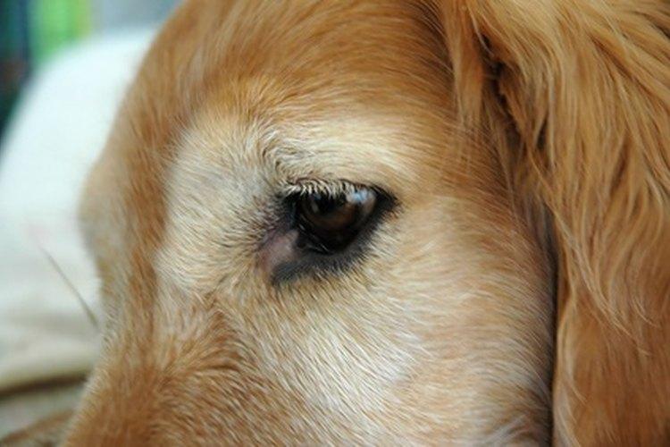 Ojos de perro.