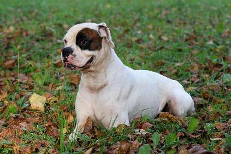 Los boxers blancos no son albinos, sólo tienen su pelaje blanco.
