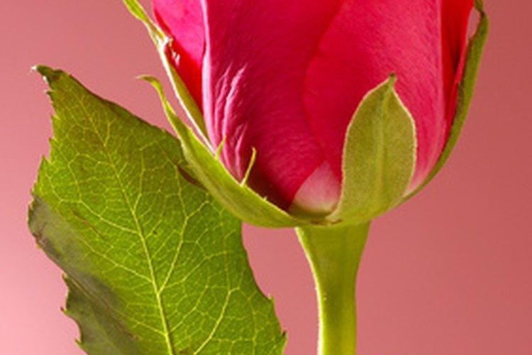 Rosa ecuatoriana.