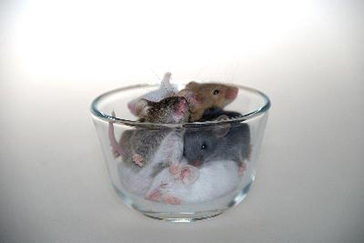 Deshazte de los ratones en tu hogar.