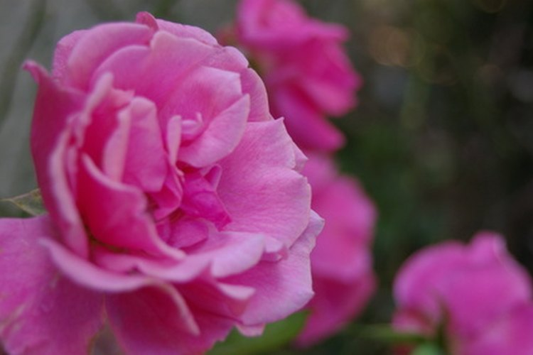 Puedes eliminar las manchas negras de las rosas.