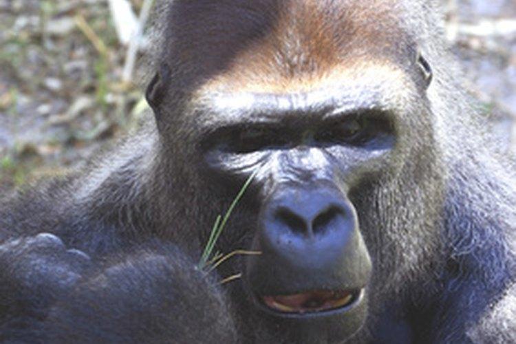 Nunca apuntes o mires directamente a un gorila de montaña si lo enfrentas.
