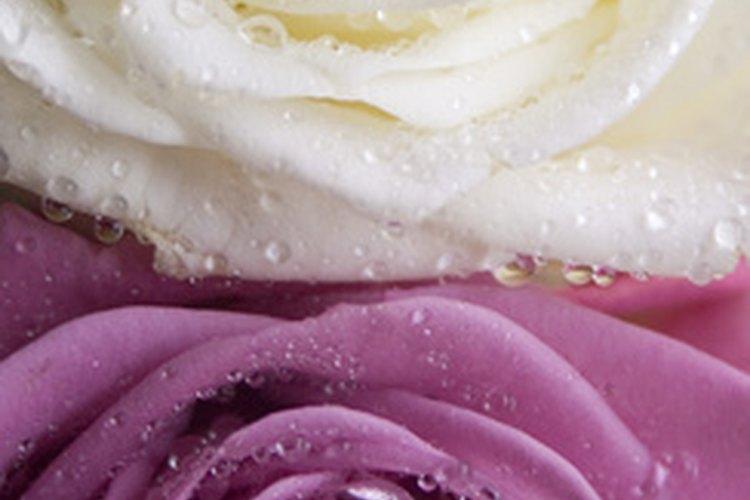 Deja las rosas rociadas o húmedas antes de usarlas.