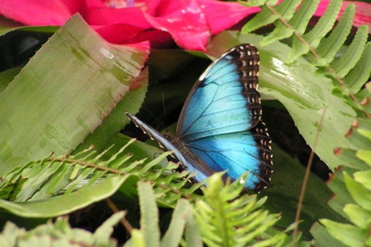 Aun cuando todas las mariposas azules son maravillosas, la más impresionante es la morfo azul.
