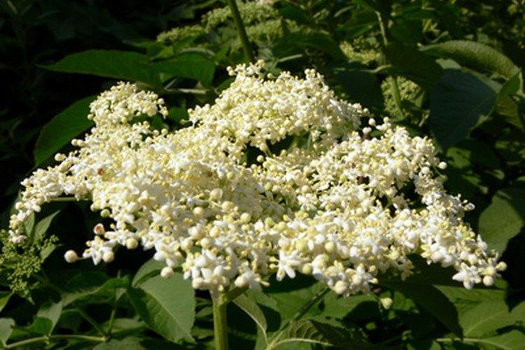 Las flores blancas del arbusto de saúco son la base del licor.