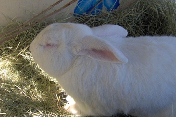 Las conejas madre a menudo abandonan a su primera camada.