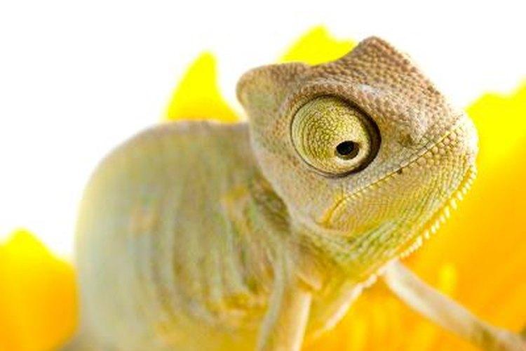 Los camaleones cambian de color según su estado de ánimo.