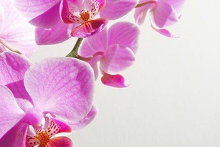 Los detalles de orquídeas se magnifican bajo el agua.