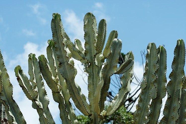Candelabro Euphorbia.