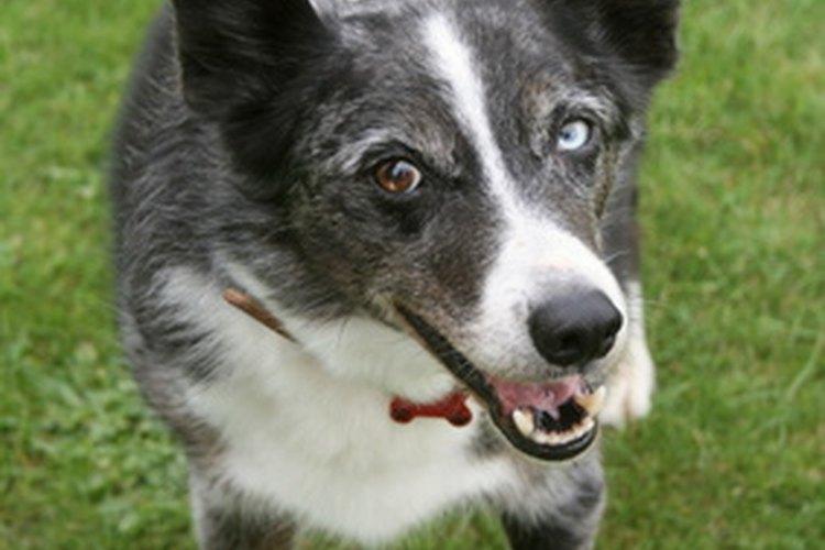 La pérdida de grandes mechones de pelo en un perro indica alguna enfermedad más seria.