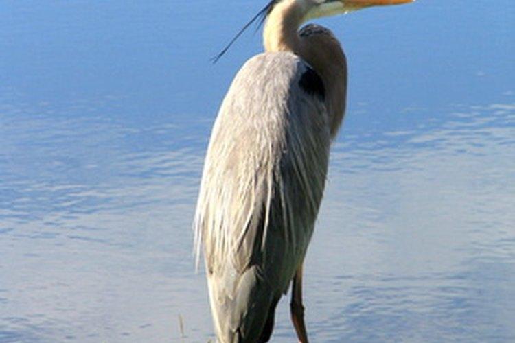 La gran garza azul adora pescar en un estaque pequeño.