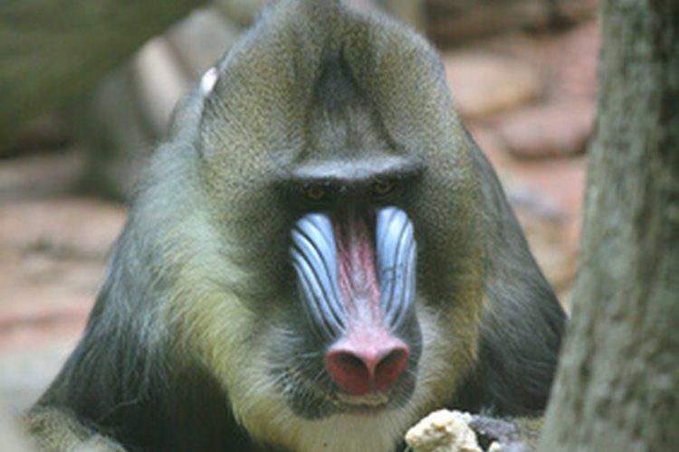 Los grandes simios son parte de la familia de los homínidos junto con los gorilas y los humanos.